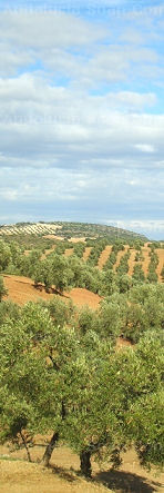 the Sevillian olive groves that supply the oil for our castile soap